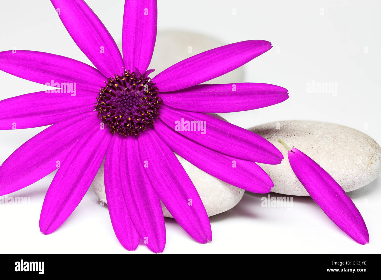 senetti pericallis closeup isolated - Stock Image