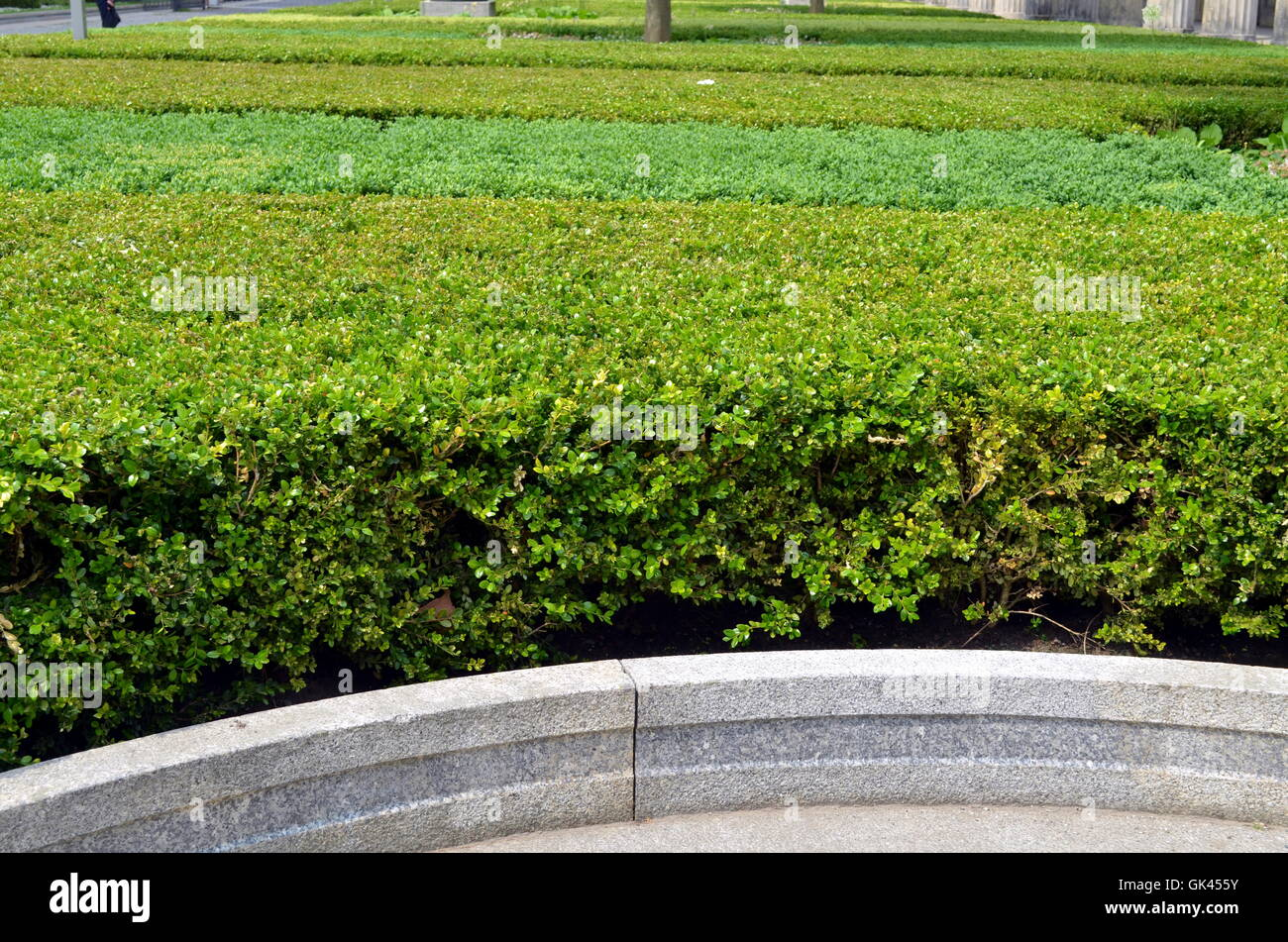 bushes of boxwood in a garden in berlin - Stock Image