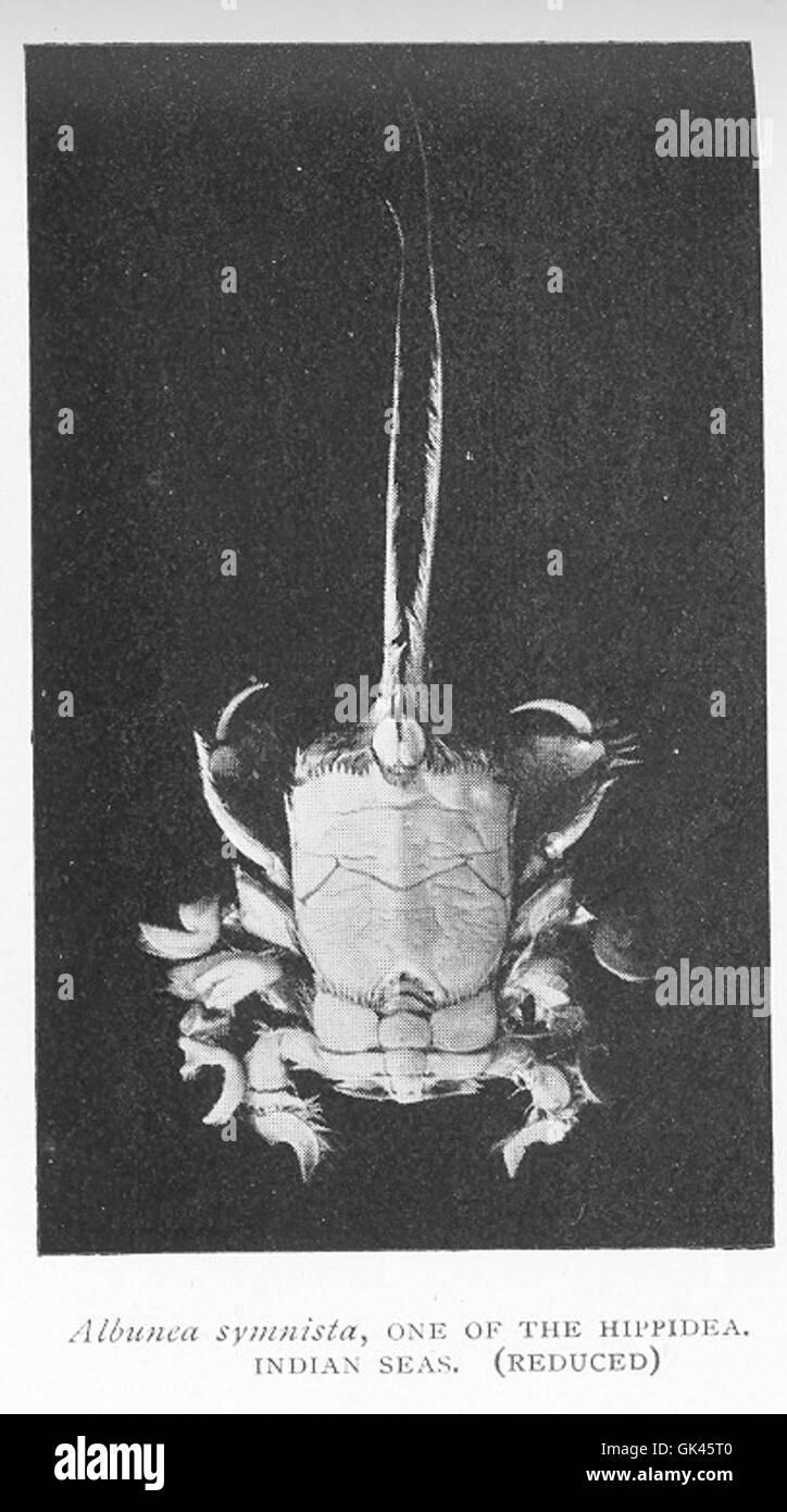46475 Albunca symnista, one of the Hippidea, Indian seas