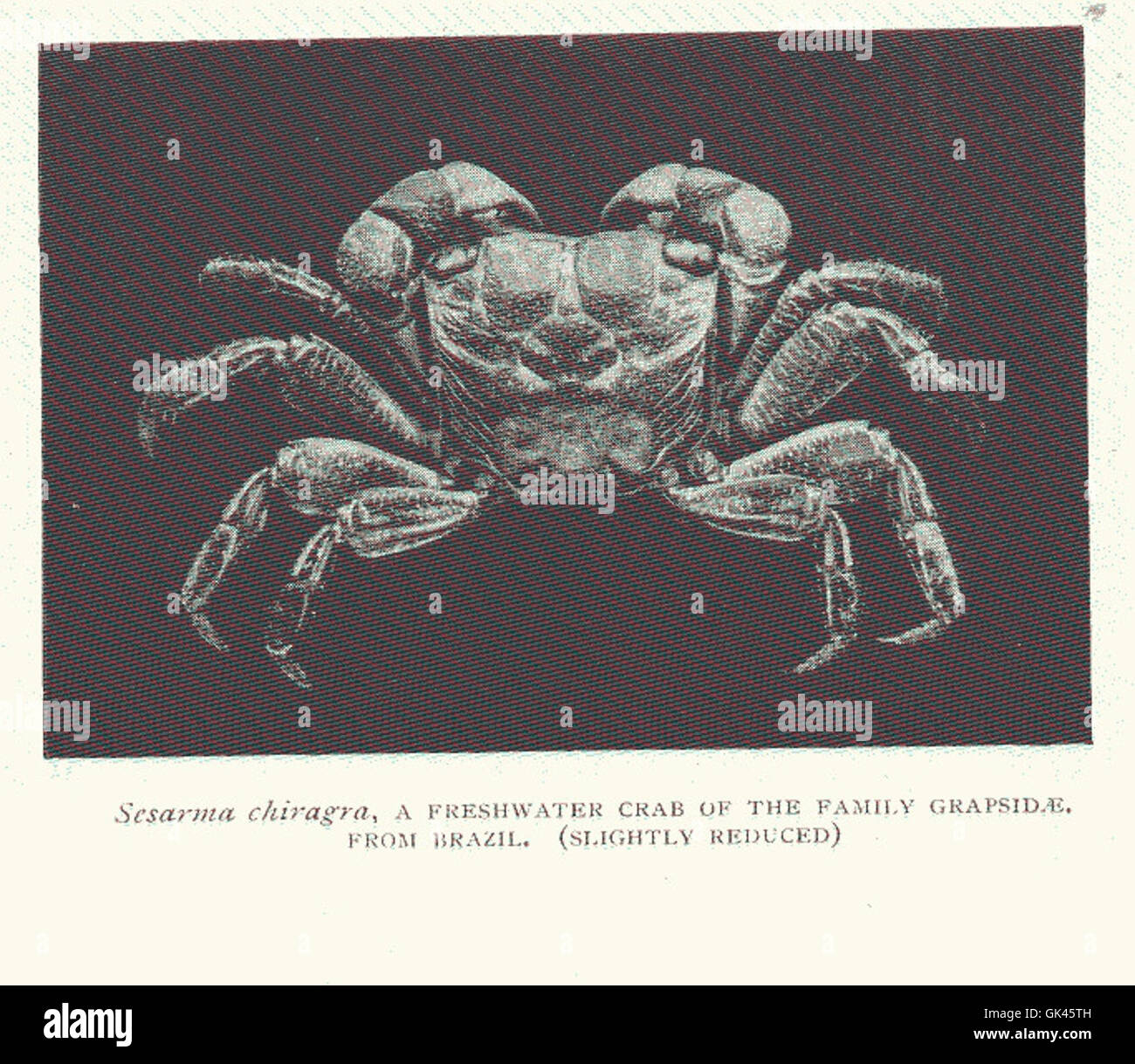 46488 Sesarma chiagra, a Freshwater crab of the family Grapsidae, from Brazil - Stock Image