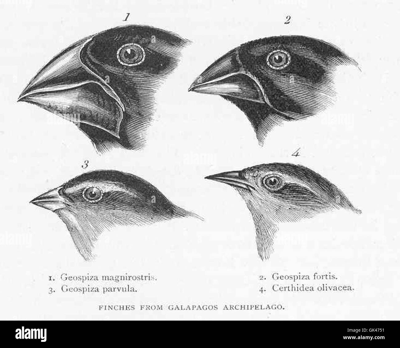 47321 Finches from Galapagos Archipelago - Stock Image