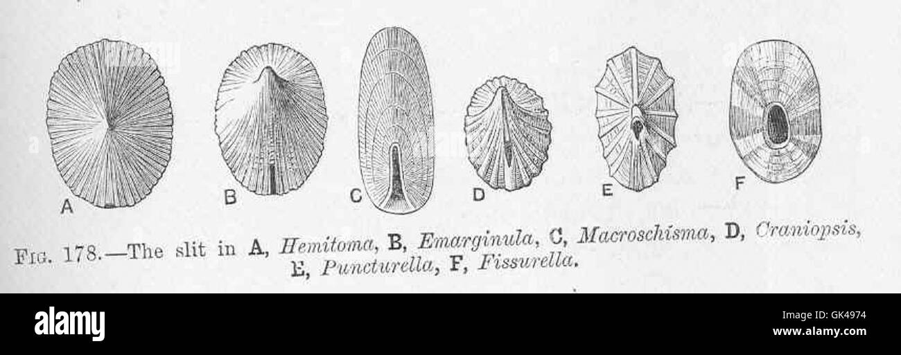 48683 Slit in A, Hemitoma; B, Emarginula; C, Macroschisma; D, Craniopsis; E, Puncturella; F, Fissurella - Stock Image