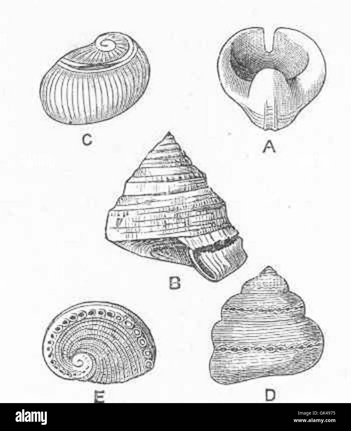 48684 Slit in A, Bellrophon; B, Pleurotomaria; C, Schismope; D, Polytremaria; E, Haliotis - Stock Image