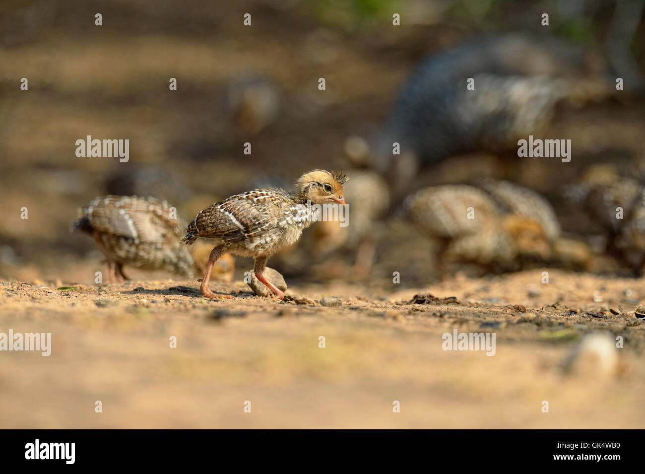Scaled Quail (Callipepla Squamata) Chicks Attracted To Seeds Below Bird  Feeder, Rio Grande City, Texas, USA