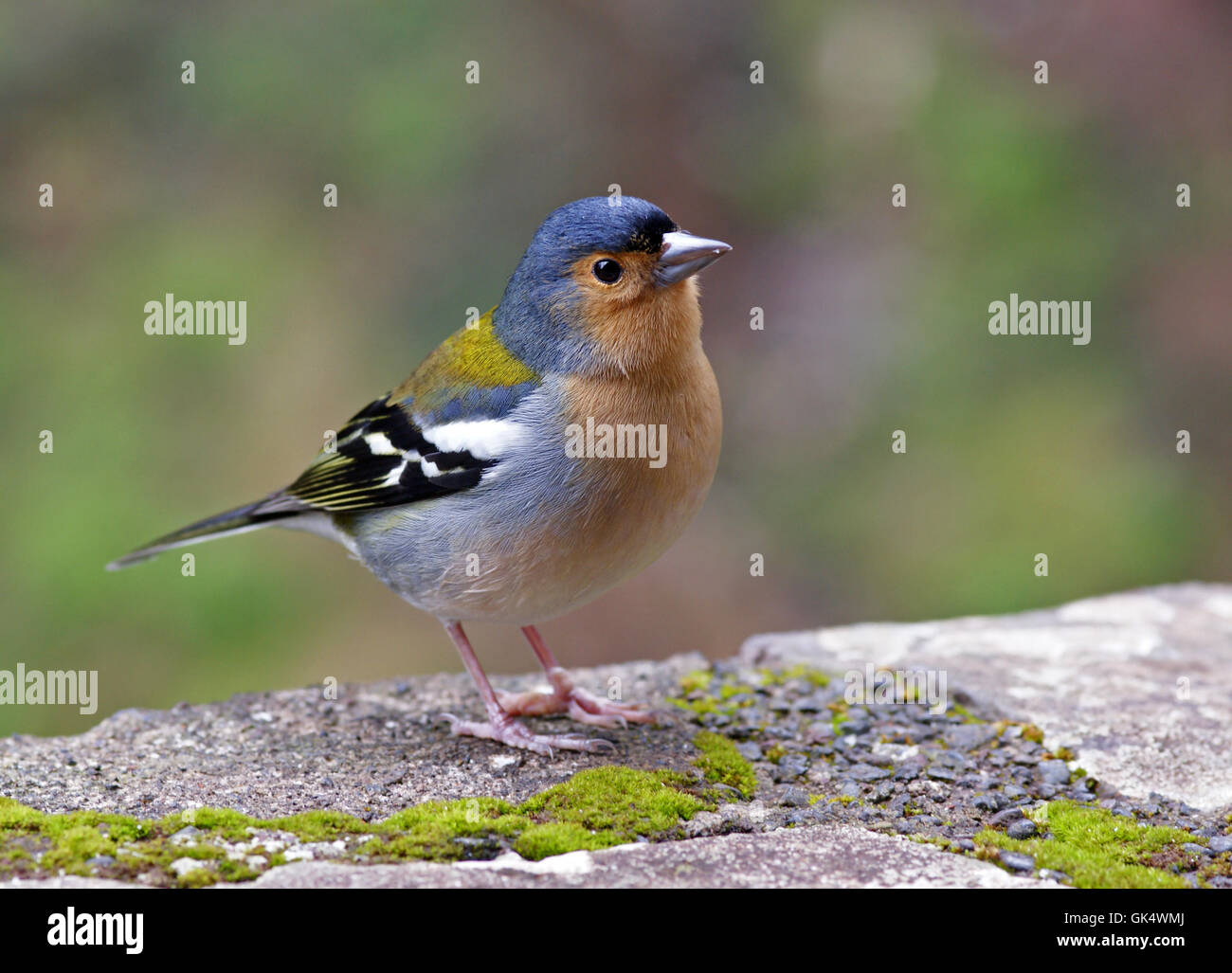 madeira chaffinch - Stock Image