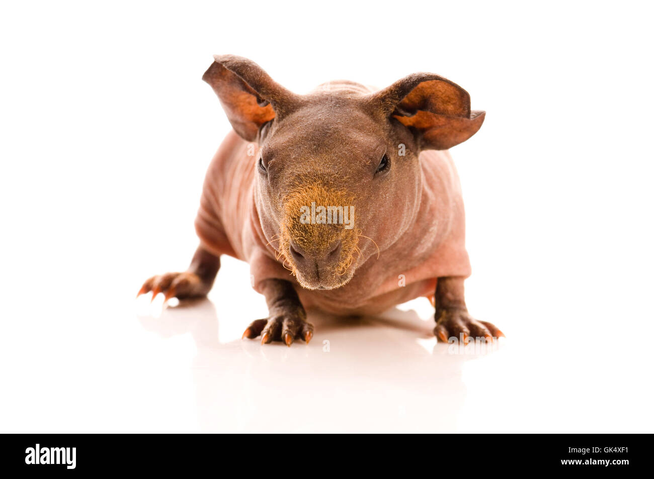 animal pet hairless - Stock Image