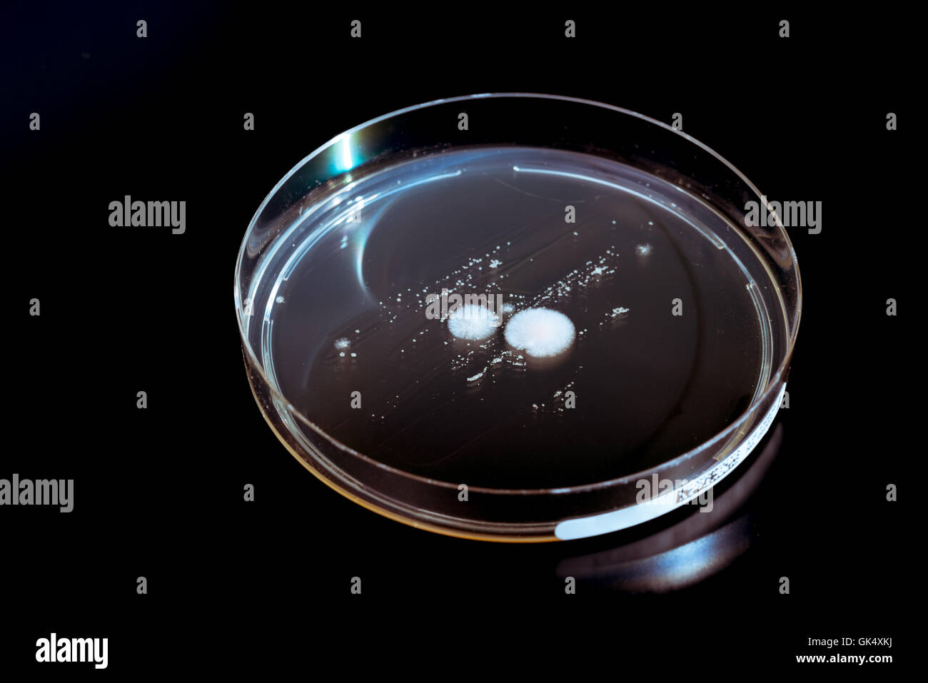 Petri dishes with colonies of microorganisms and fungi - Stock Image