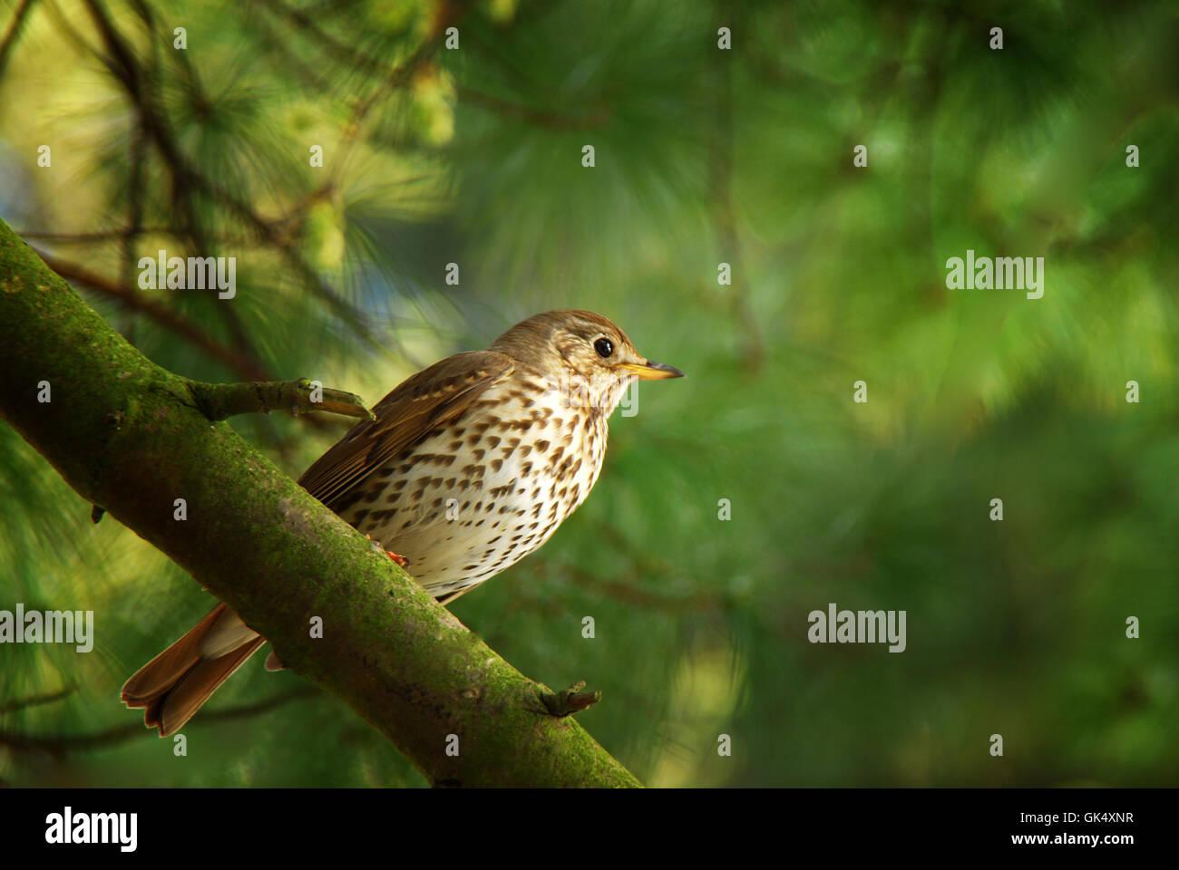 bird birds thrush - Stock Image