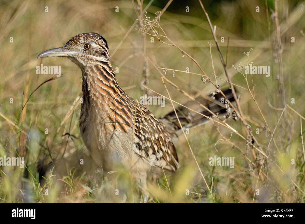 Greater roadrunner (Geococcyx californianus), Turkey Bend LCRA, Texas, USA - Stock Image