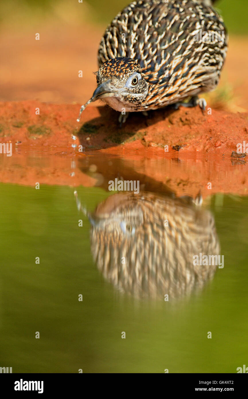 Greater roadrunner (Geococcyx californianus) drinking at the edge of a pond, Rio Grande City, Texas, USA - Stock Image