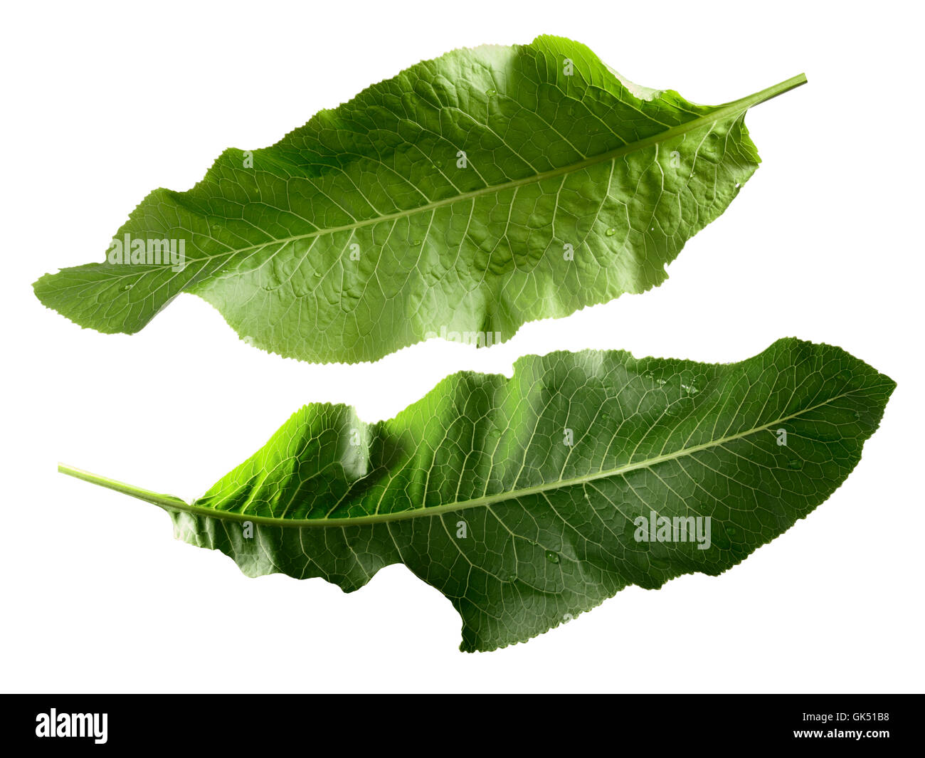 Two separate horseradish leaves. Clipping paths, infinite depth of field. Design elements - Stock Image