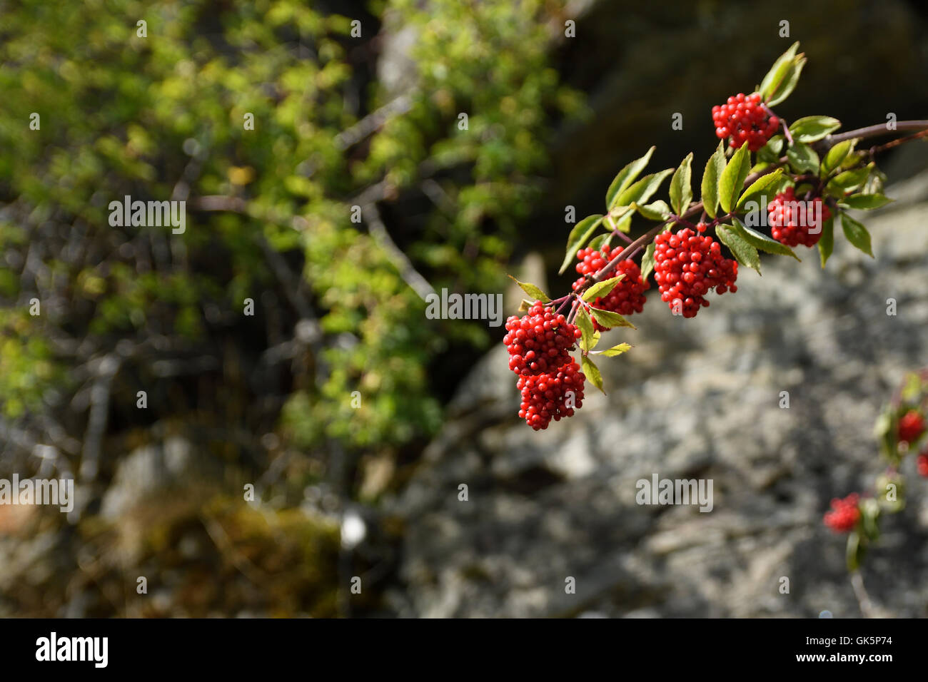 elderberry photos red elderberry stock photos red elderberry stock images 8546