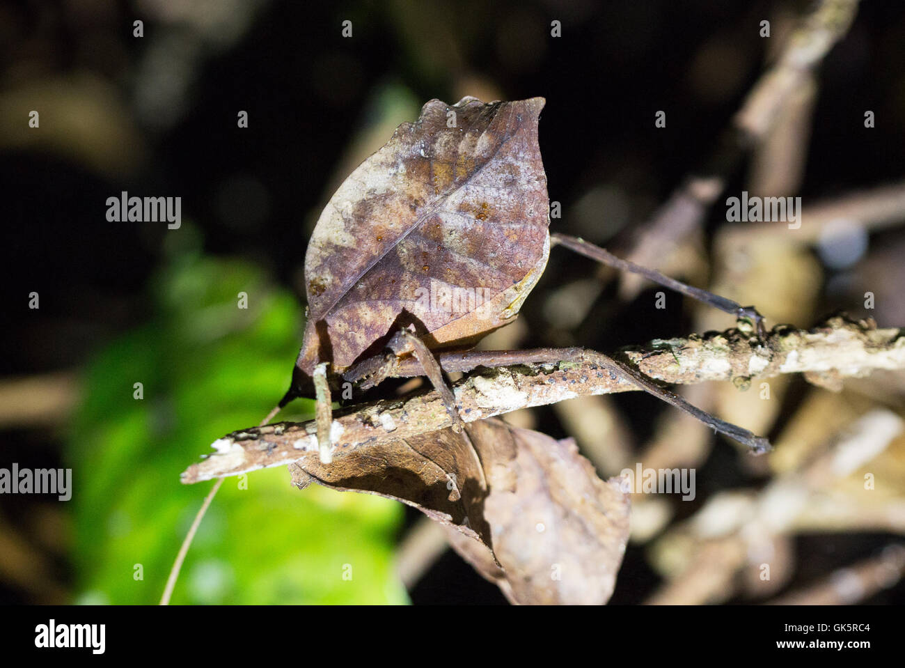 A leaf mimic insect, or leaf mimic katydid, Costa Rica, Central America - Stock Image