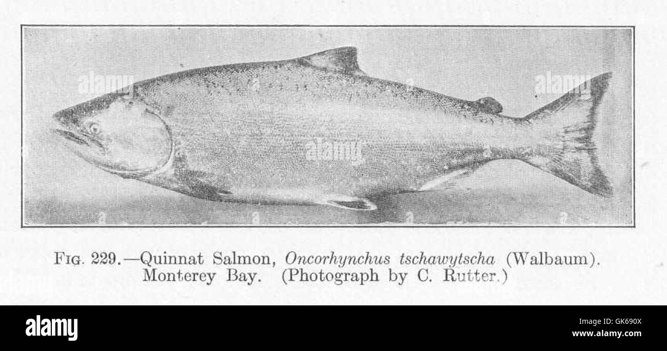 Quinnat Salmon Stock Photos & Quinnat Salmon Stock Images