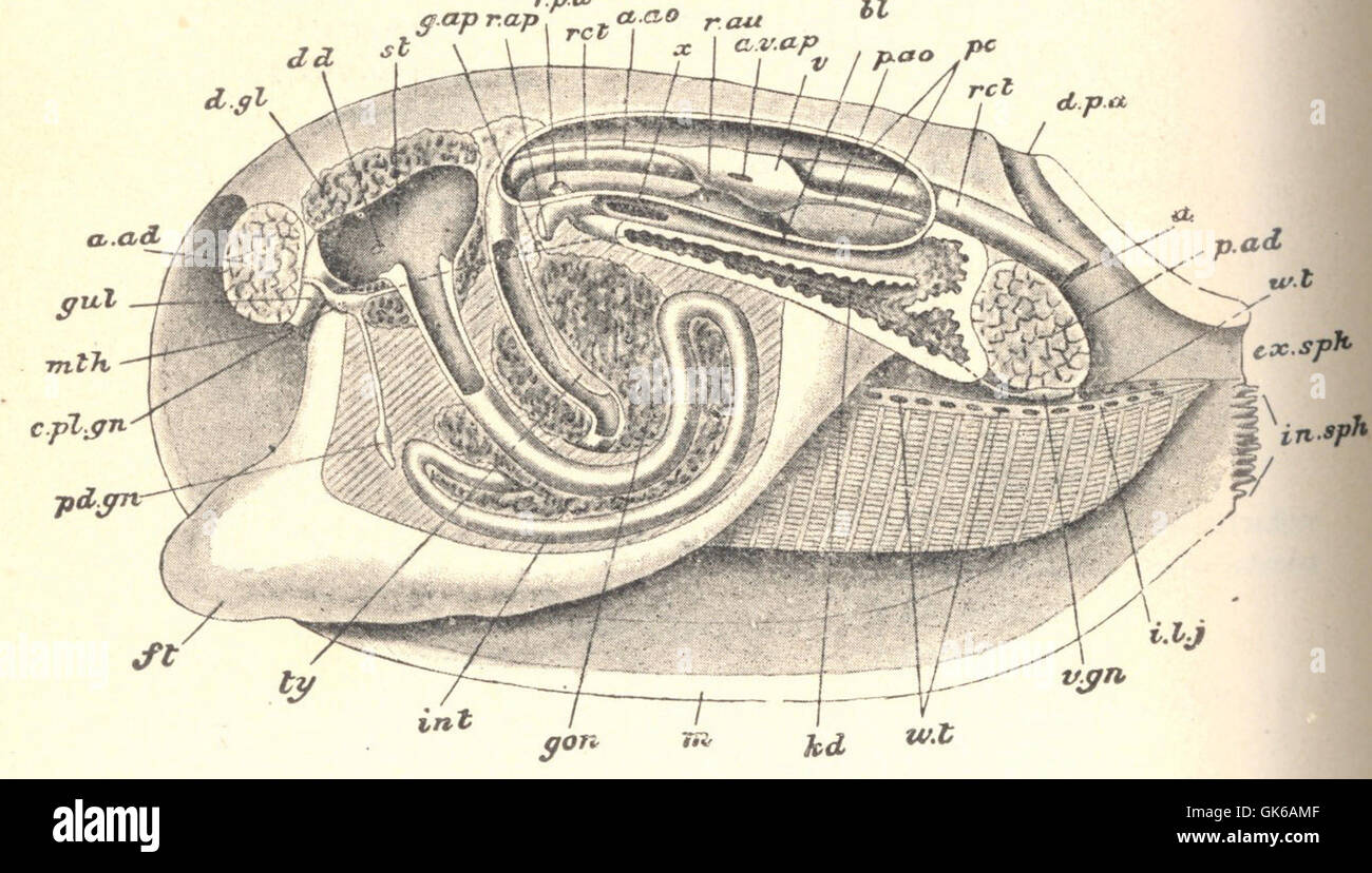 Snake Anatomy Diagram Image Search Results Wire Data Schema Quiksilver Short Circuit Tshirt Actionoutlet 52875 Peleoypod Anodonta Dissection Stock Photos Rh Alamy Com Skeleton Reptile