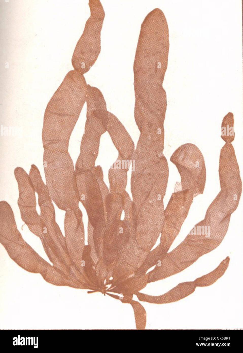 Asperococcus Stock Photos & Asperococcus Stock Images - Alamy