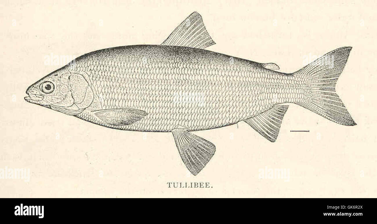 41839 Tullibee (Argyrosomus tullibee Richardson)