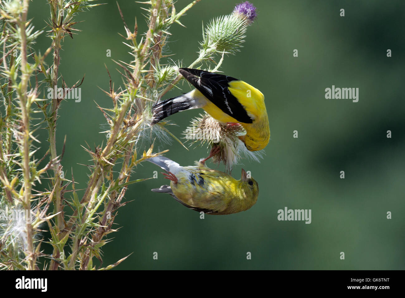 Male and female goldfinches perched on thistle plant - Stock Image