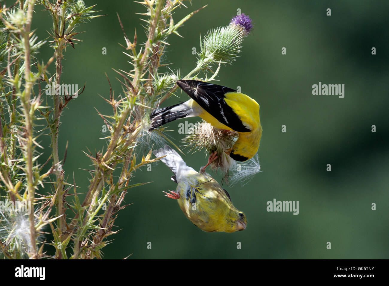 Male and female goldfinches squabble over thistle plant - Stock Image