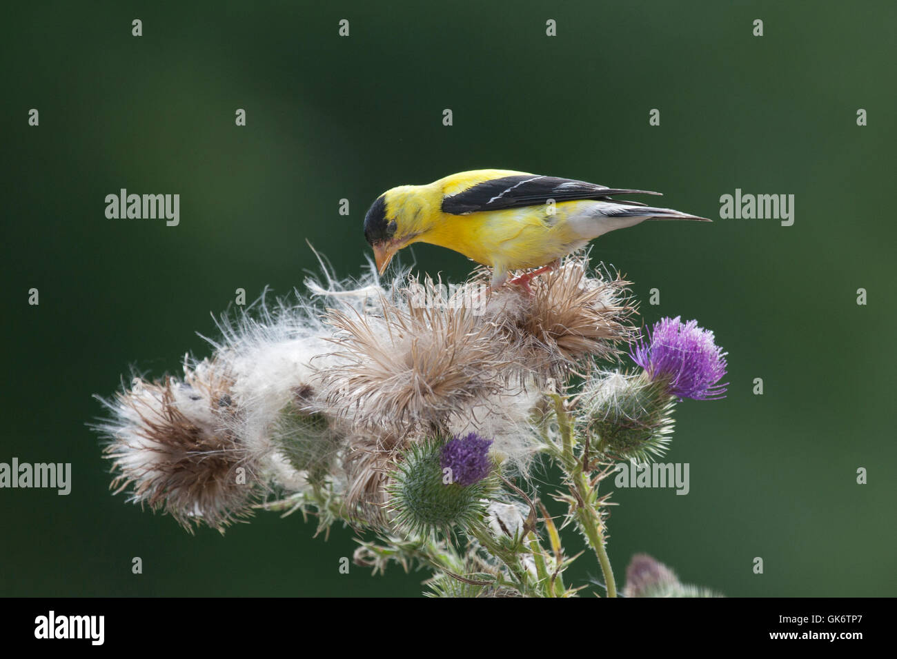 Goldfinch gathers nesting material from thistle plant - Stock Image