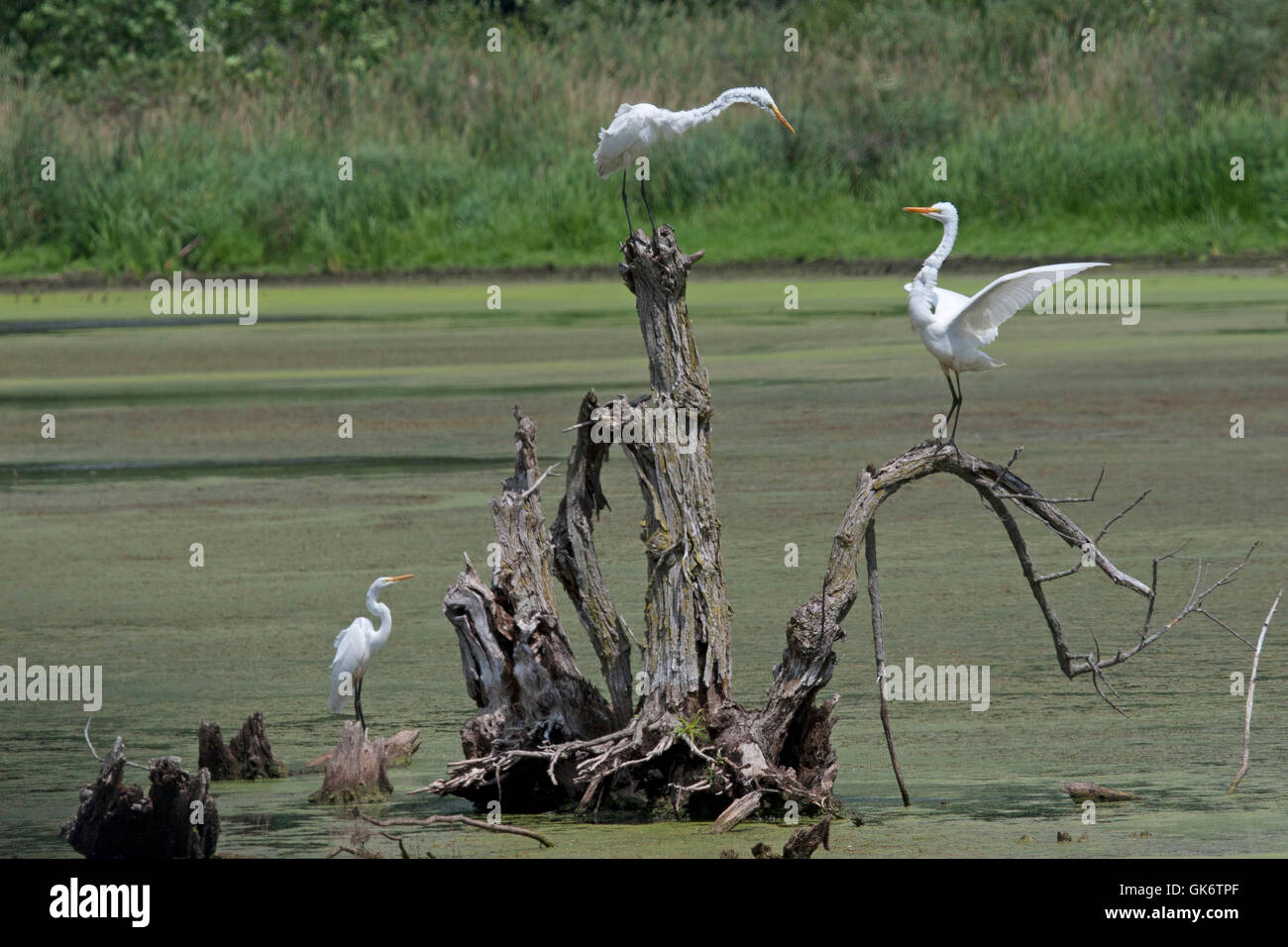 Two great white egrets argue over territory as third egret looks on - Stock Image