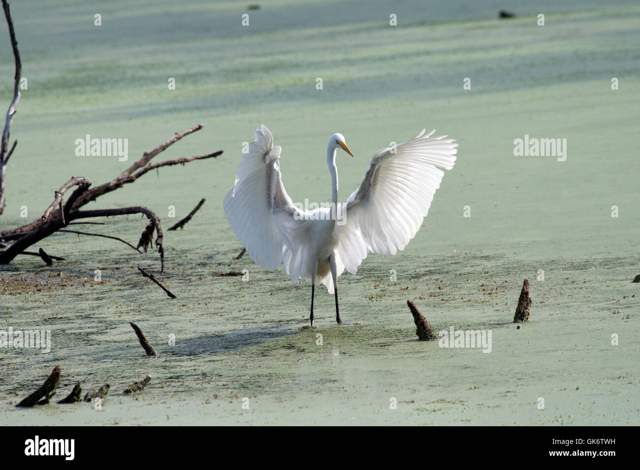 Great white egret spreading wings in pond - Stock Image