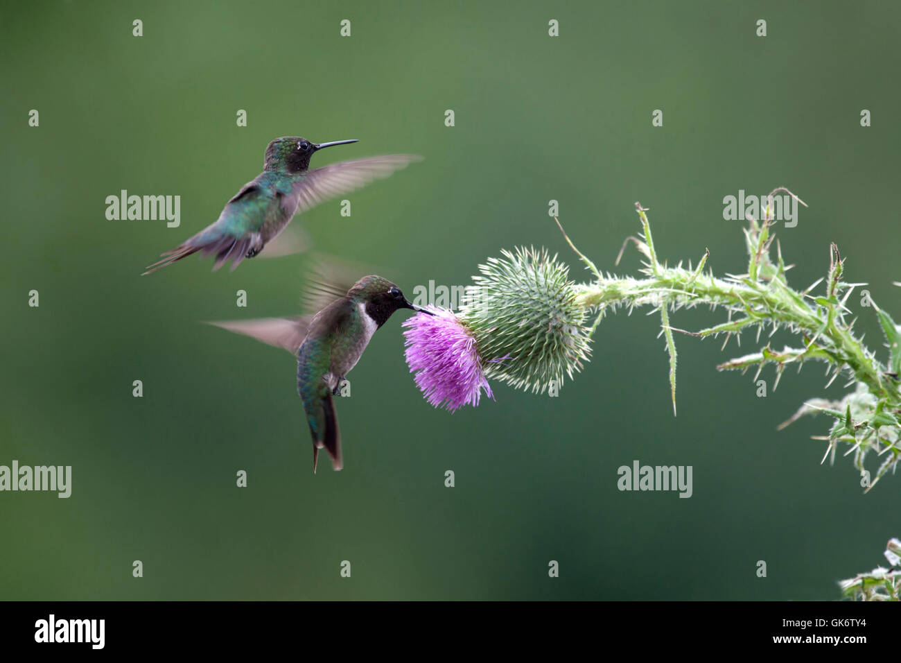 Pair of ruby throated hummingbirds hover near thistle - Stock Image