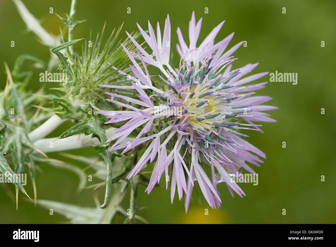 Purple Milk Thistle (Galactites tomentosa) flower - Stock Image