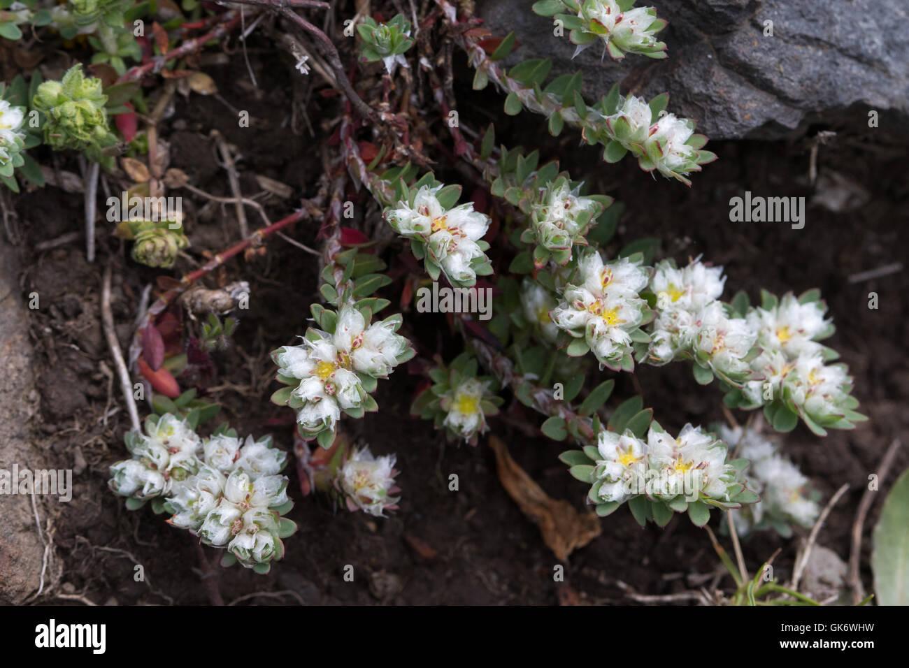 Paronychia argentea (Algerian Tea) flowers Stock Photo