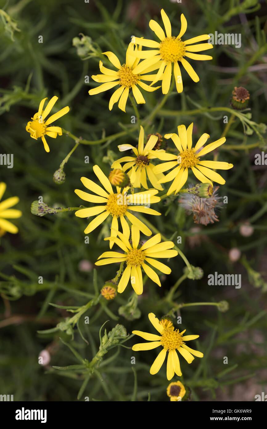 Yellow Asters (Asteraceae) flowers in Catalunya, Spain - Stock Image