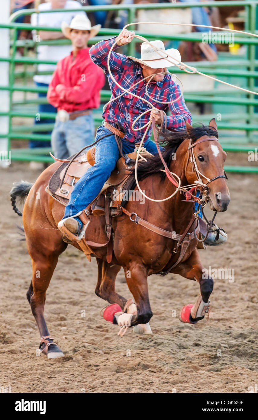 Rodeo cowboy on horseback competing in calf roping, or tie-down roping  event, Chaffee County Fair & Rodeo, Salida, Colorado, USA