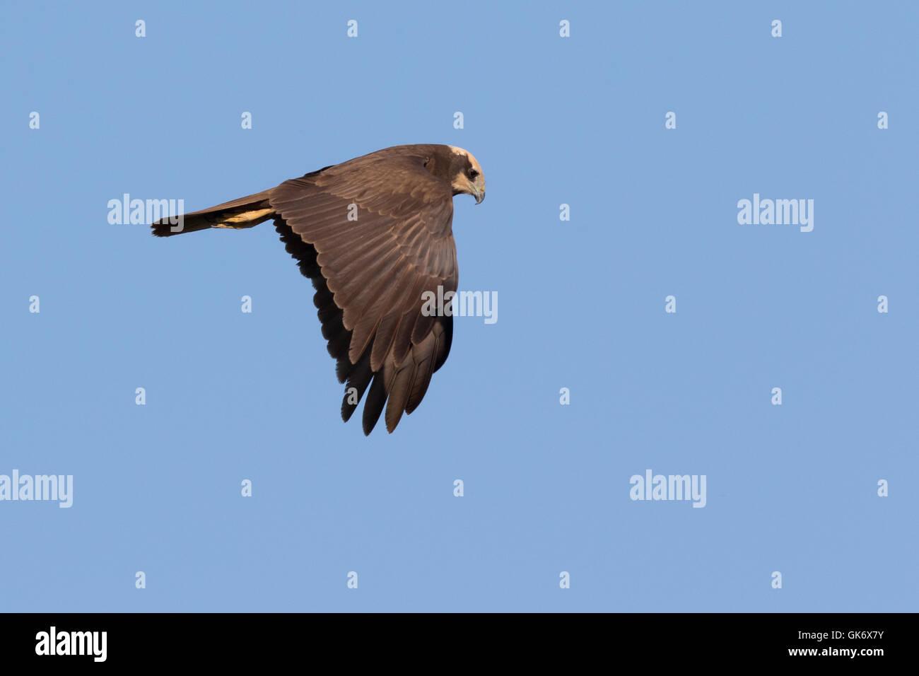 female Western Marsh-Harrier (Circus aeruginosus) in flight Stock Photo