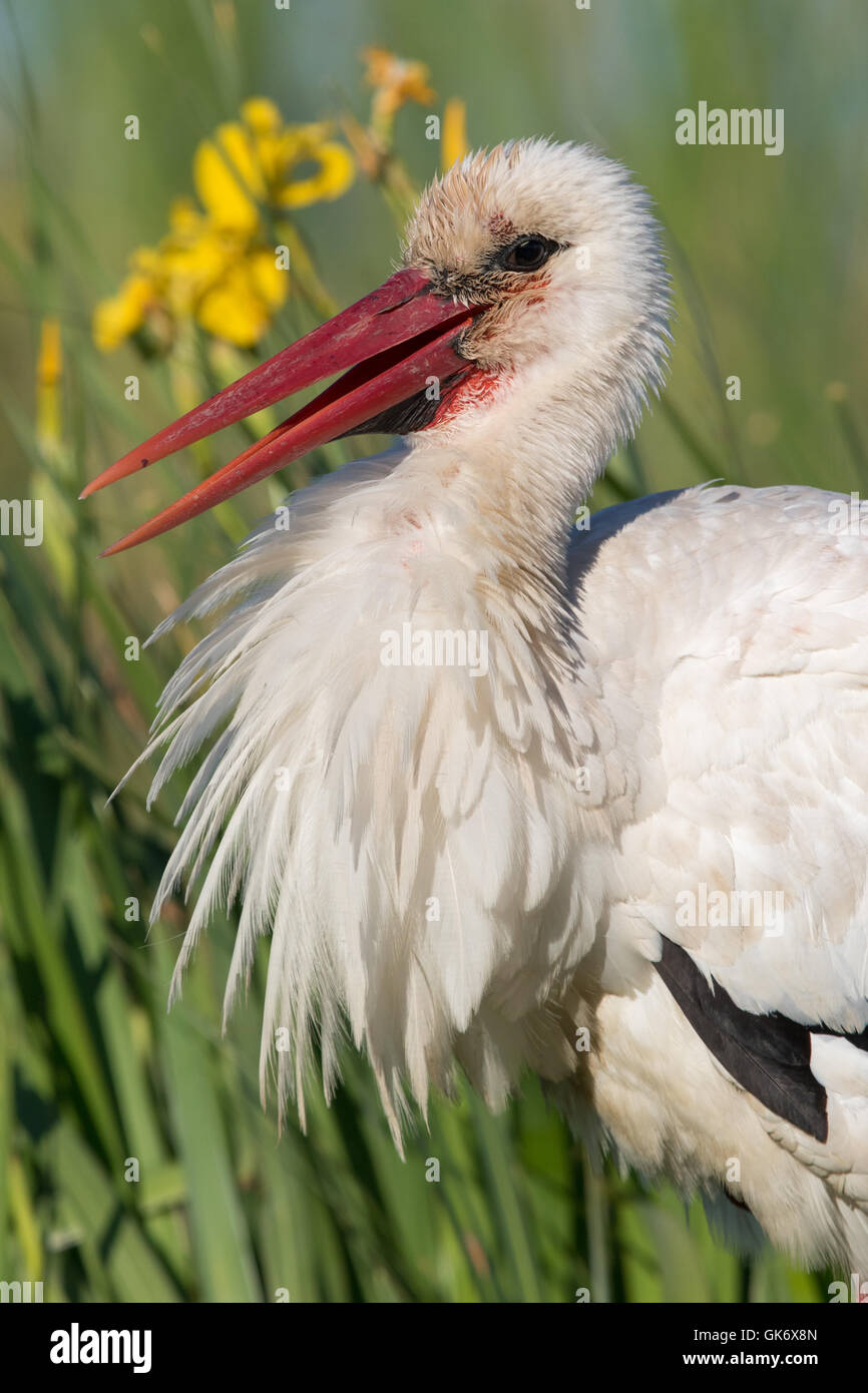 headshot of a White Stork (Ciconia ciconia) - Stock Image