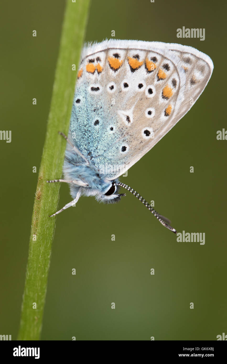 Common Blue (Polyommatus icarus) roosting on a grass-stem - Stock Image
