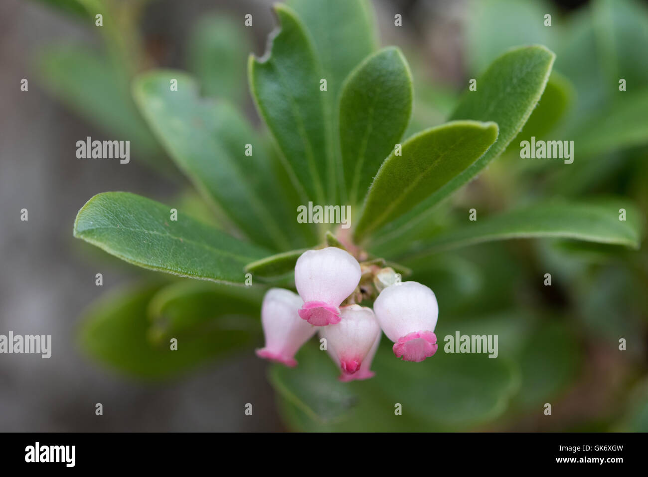Bearberry (Arctostaphylos uva-ursi) flowers - Stock Image
