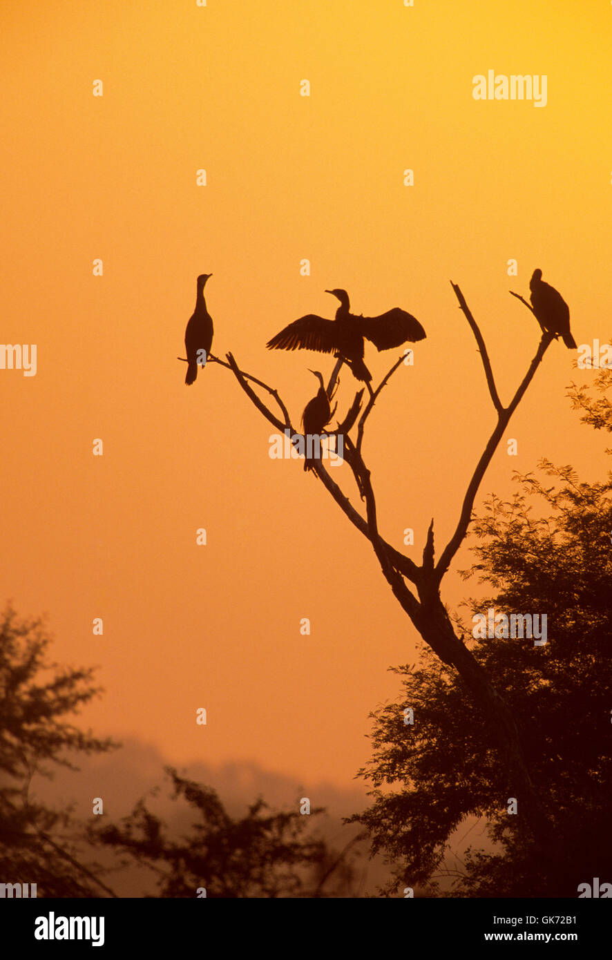 Indian Cormorant (Phalacrocorax fuscicollis) and Darter (Anhinga melanogaster) with wings spread out, at sunset - Stock Image