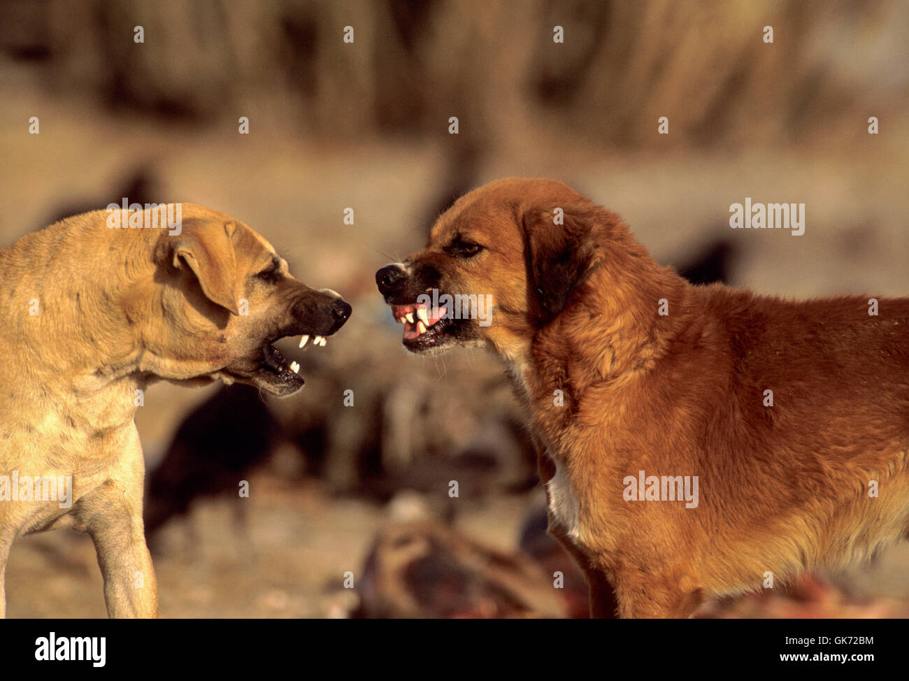 Feral dogs fighting on animal waste dump, (since vulture decline feral dog population has increased across India), - Stock Image