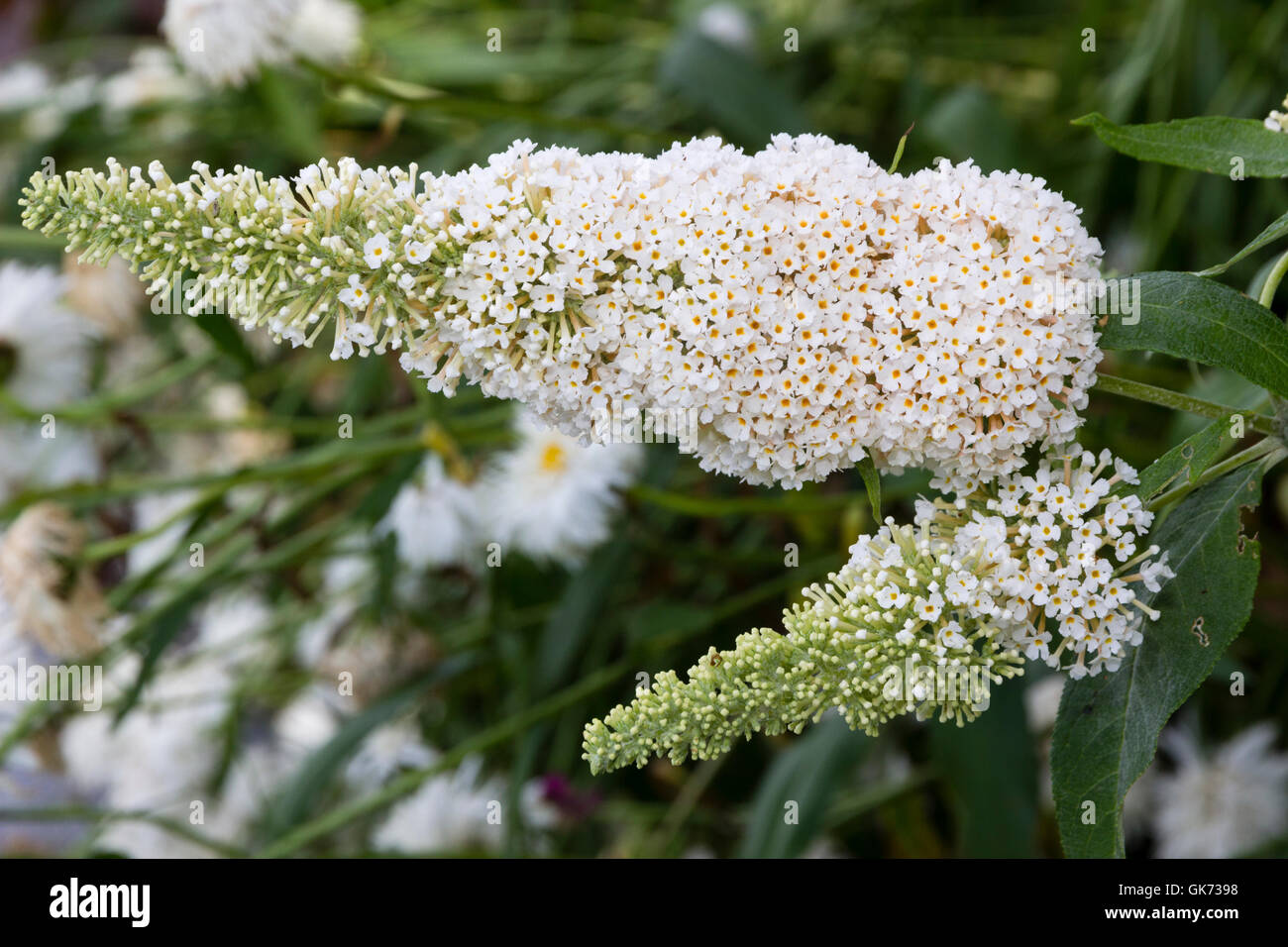 Scented white flowers of the compact butterfly bush, Buddleja davidii 'Buzz Ivory' - Stock Image