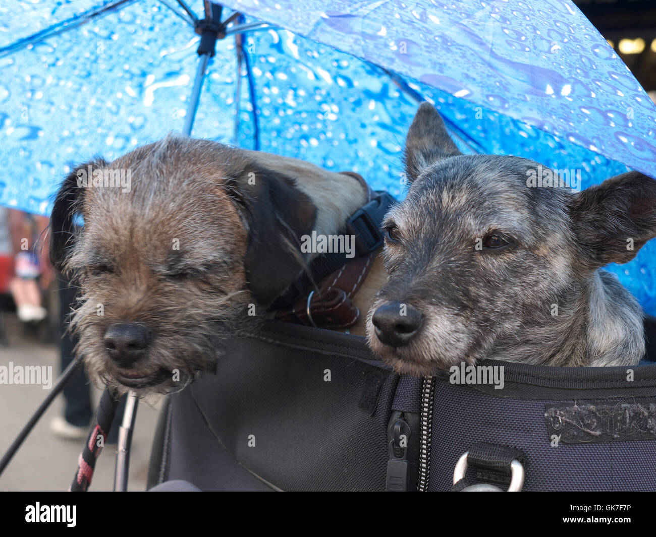 Two dogs nice and snug on the back of a Honda Goldwing during Mablethorpe's annual bike night - Stock Image