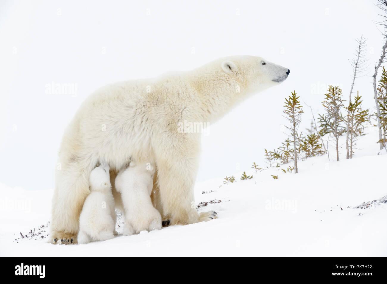 Polar bear mother (Ursus maritimus)standing up, nursing two new born cubs, Wapusk National Park, Manitoba, Canada - Stock Image