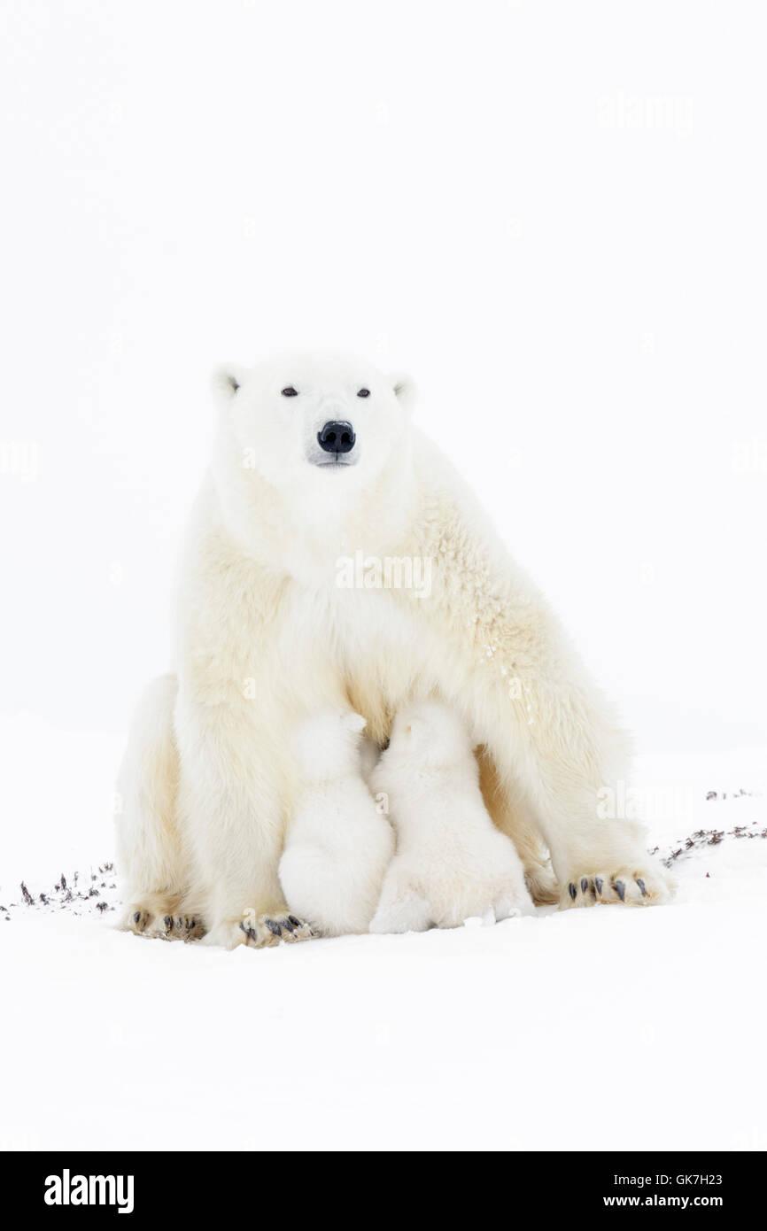 Polar bear mother (Ursus maritimus), looking at camera, nursing two new born cubs, Wapusk National Park, Manitoba, - Stock Image