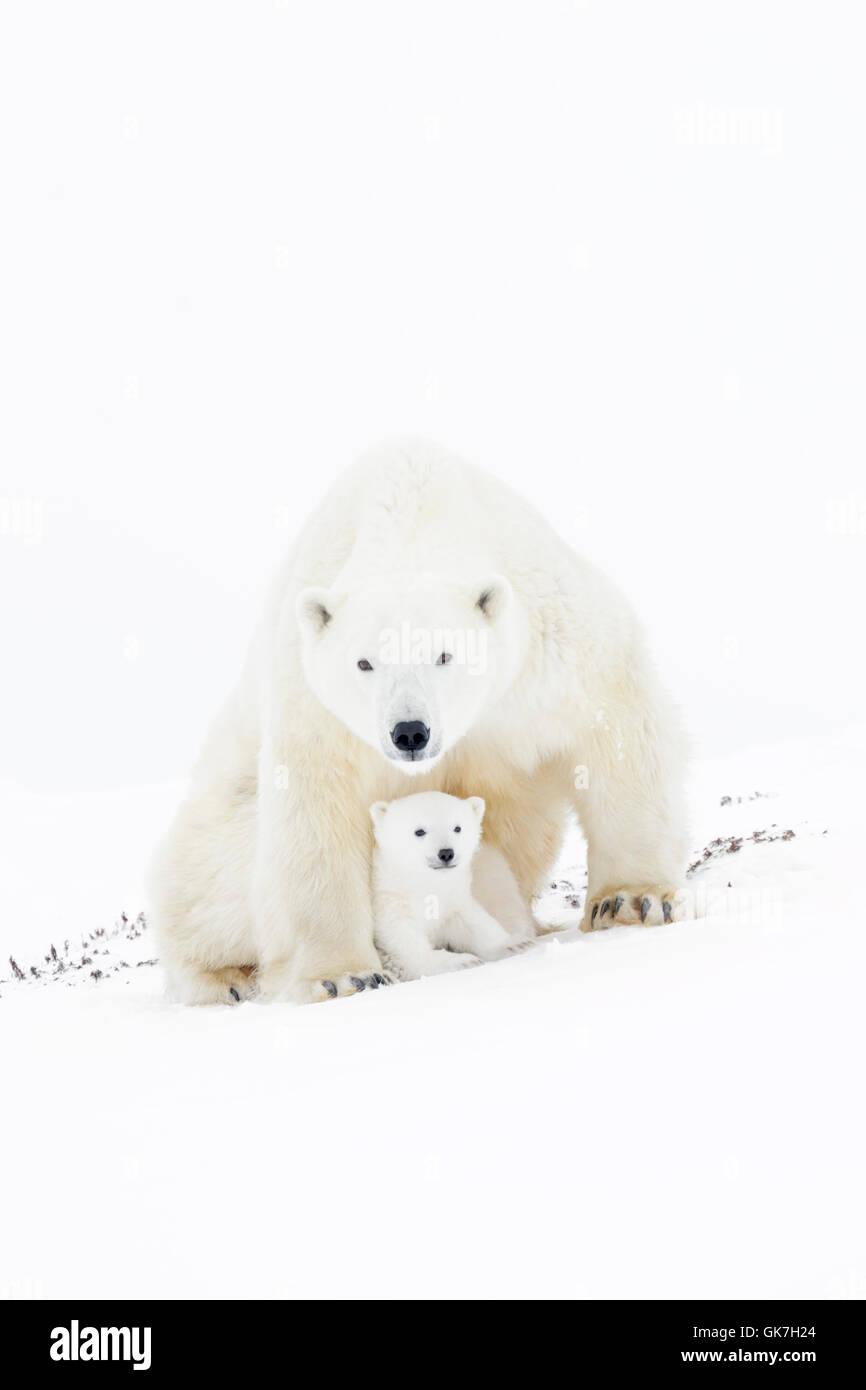 Polar bear mother (Ursus maritimus) sitting up, looking at camera, with new born cub, Wapusk National Park, Manitoba, - Stock Image