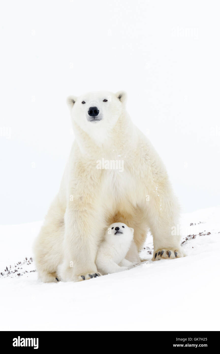 Polar bear mother (Ursus maritimus) sitting up, looking at camera, with new born cub, Wapusk National Park, Manitoba, - Stock Image