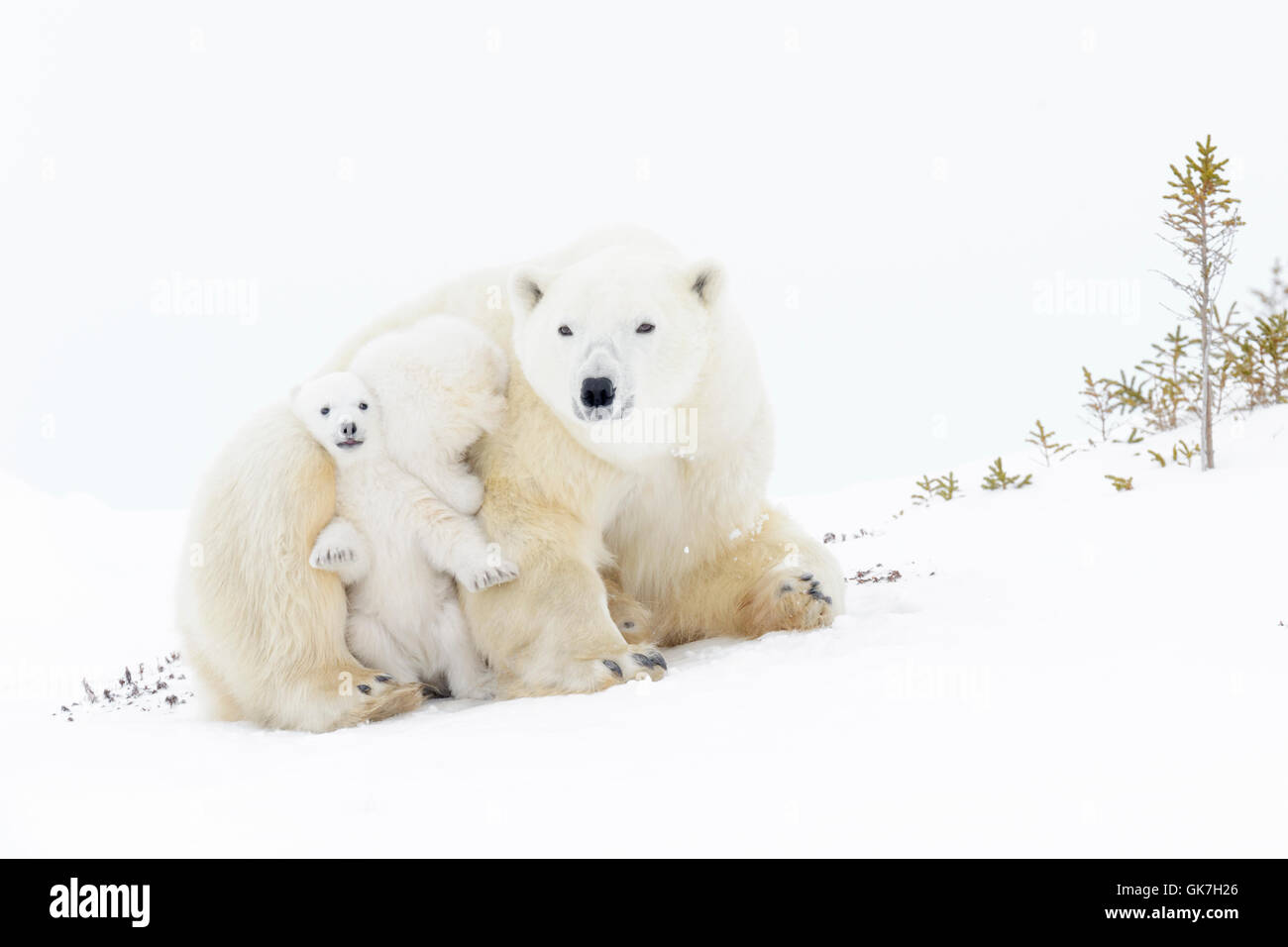 Polar bear mother (Ursus maritimus) getting up with two playing cubs, Wapusk National Park, Manitoba, Canada - Stock Image