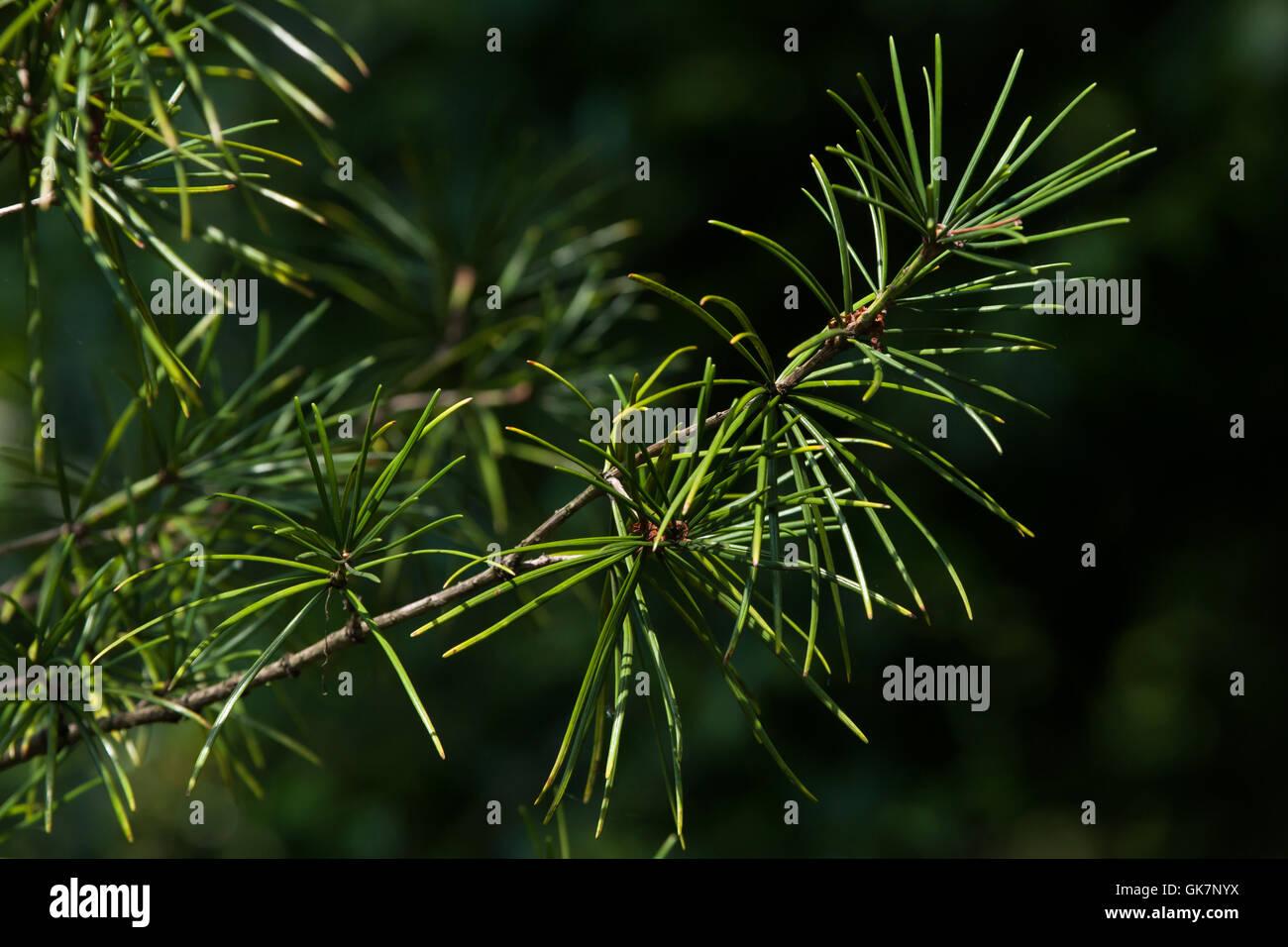 Japanese umbrella pine (Sciadopitys verticillata), also known as the koyamaki. Conifer plant. Stock Photo