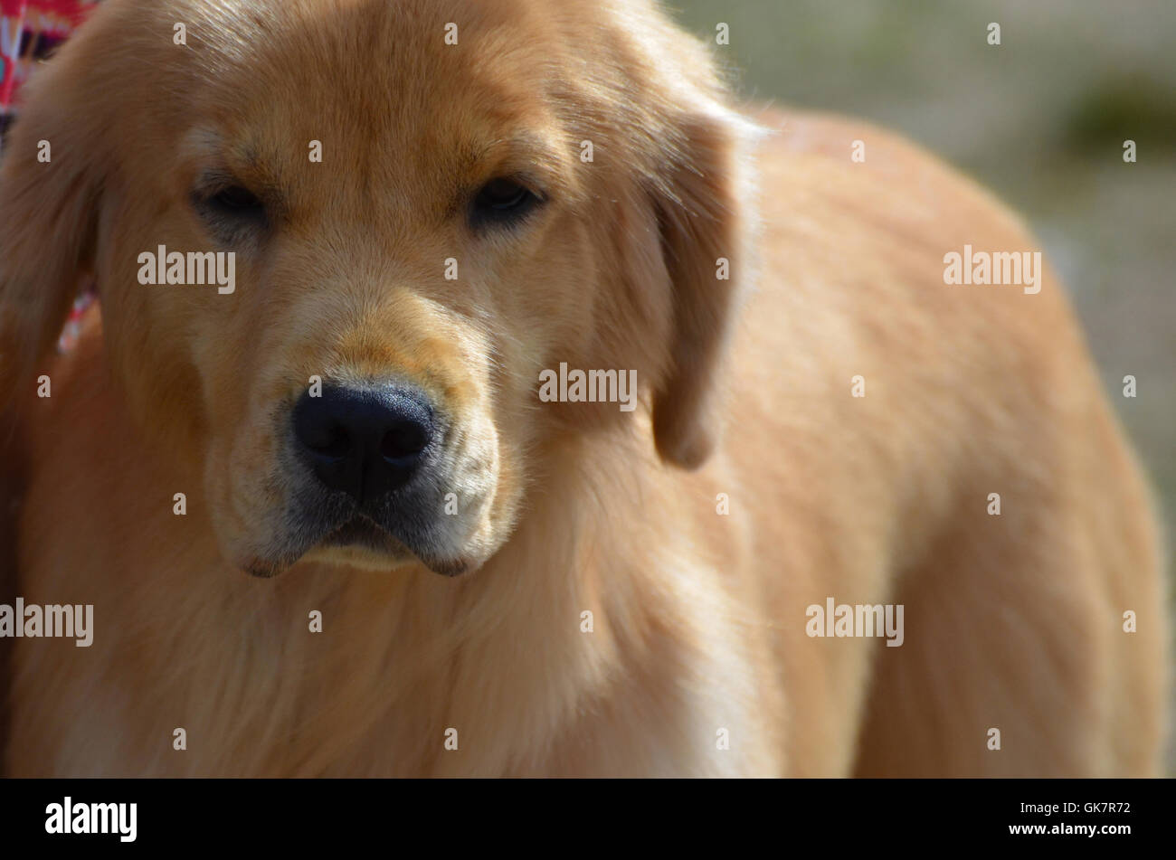 Beautiful sweet faced golden retriever puppy. Stock Photo