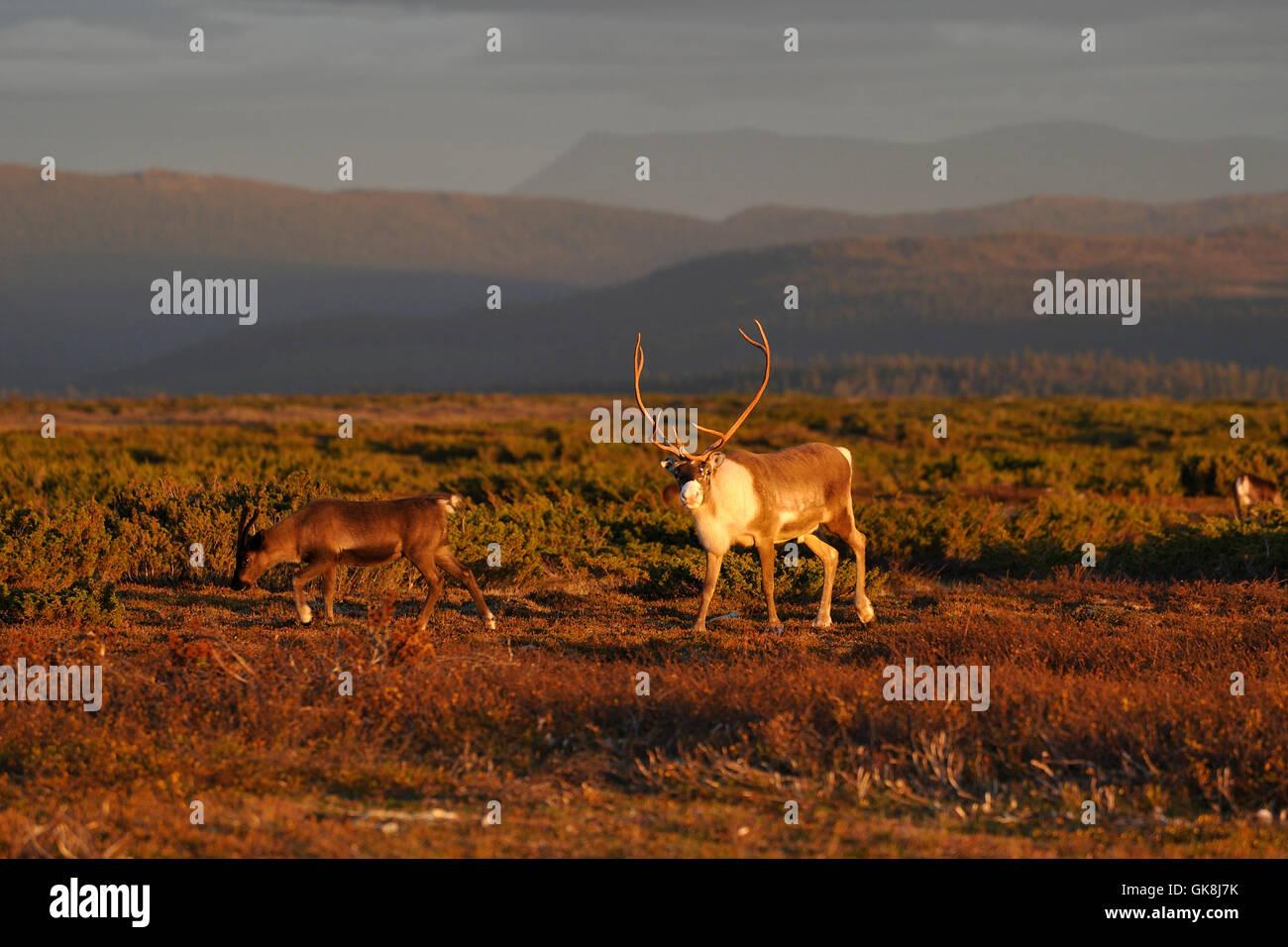 reindeer in evening light Stock Photo