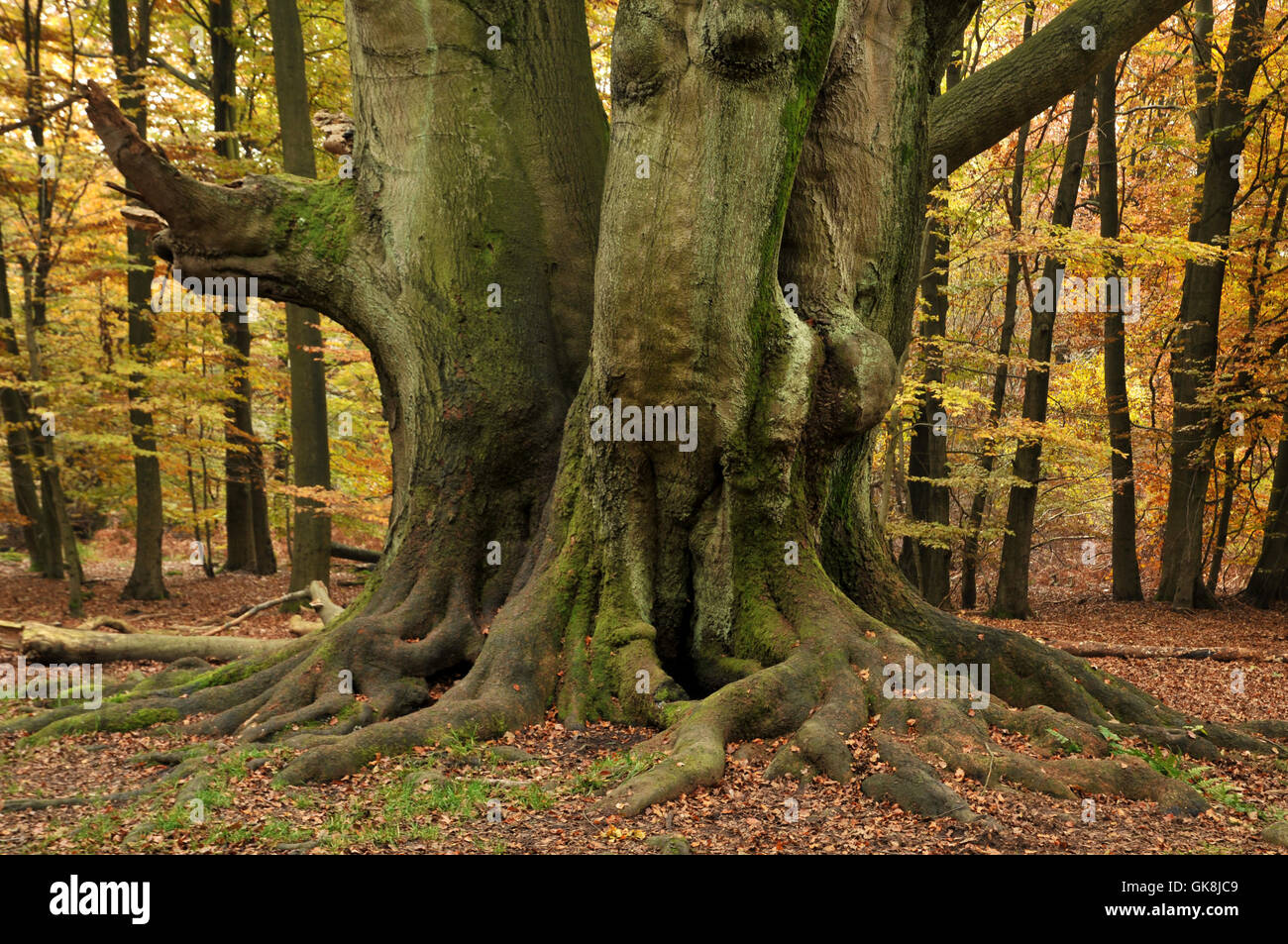 book trunk clump of trees - Stock Image
