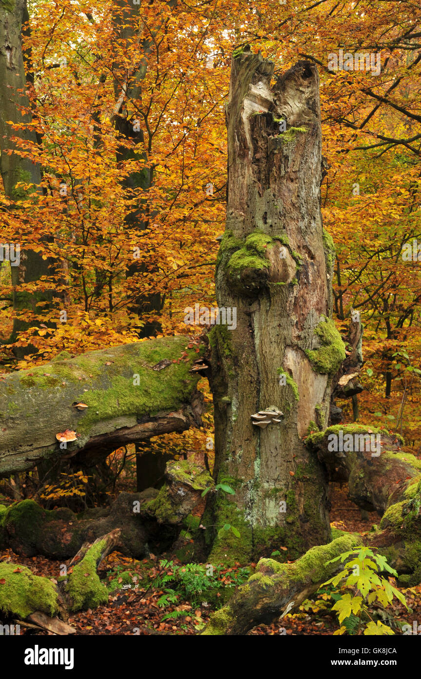 book mushrooms beech forest - Stock Image
