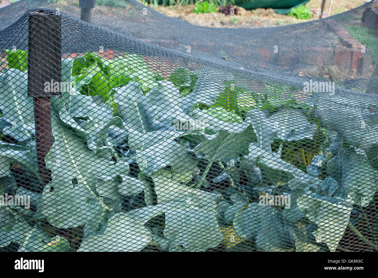 Butterfly netting covering brassicas to prevent cabbage white butterfly damage - Stock Image
